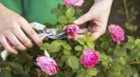 Королева квітучого саду. Основні правила догляду за трояндами