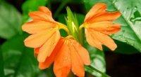 Кроссандра: догляд в домашніх умовах, розмноження і чому не цвіте