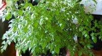 Радермахера: догляд взимку і влітку, як прищипувати і тонкощі розмноження