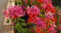 Квіти для балконних ящиків