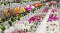 Орхідея фаленопсис: догляд в домашніх умовах