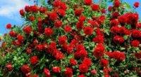Як виростити троянду