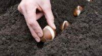 Зберігання цибулин тюльпанів до осені, весни. Як зберегти зрізані квіти?