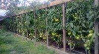 Підв'язка томатів – способи отримання відмінного врожаю