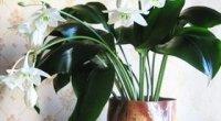 Догляд за еухарісом в період росту, цвітіння і спокою, розмноження
