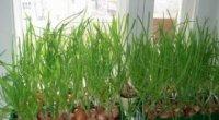 Як виростити зелену цибулю вдома на підвіконні з насіння?