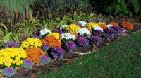 Живцювання хризантем навесні