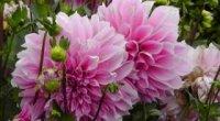 Як правильно садити жоржини, щоб виростити квітковий шедевр