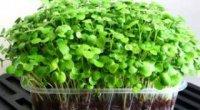 Як виростити мікрозелень самому – пророщуємо з насіння