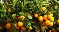 Мандаринове дерево: догляд, як виростити з кісточки або живців