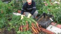 Як позбутися від морквяної мухи, народні засоби на основі часнику та цибулі