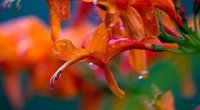 Догляд за есхінантусом в домашніх умовах до і після цвітіння