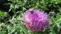 Маралів корінь: лікувальні властивості і протипоказання