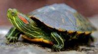 Червоновуха черепаха не їсть, млява, і спить – що робити?