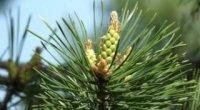 Дари лісу для користі здоров'ю: лікуємося бруньками сосни
