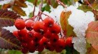 Основні рекомендації і протипоказання для вживання червоної горобини