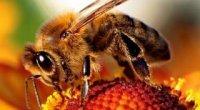 Підмор бджолиний: настоянка на спирту
