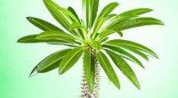 Пахіподіум: догляд в домашніх умовах, обрізка, пересадка, розмноження і вирощування