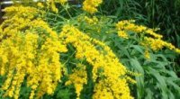 Золота різка: лікувальні властивості і протипоказання