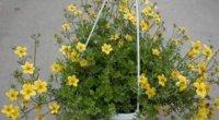 Домашні ампельні рослини як оригінальний елемент декору приміщень