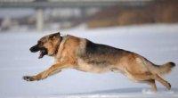 Як навчити собаку команді «фас»?