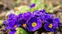 Примула садова багаторічна: як вирощувати і доглядати за рослиною?
