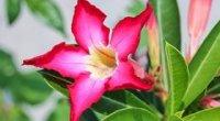 Мандевілла: догляд в домашніх умовах, вирощування, обрізка, пересадка, розмноження