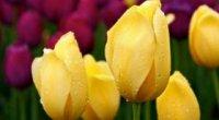 Жовті тюльпани – що означає, букет з ірисами