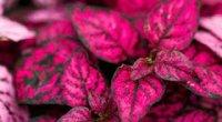 Гіпоестес: догляд в домашніх умовах, вирощування, розмноження і обрізка
