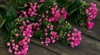 Бувардія: догляд в домашніх умовах під час цвітіння, розмноження, обрізування