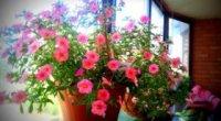Краса на вашій дачі: висаджуємо бегонію садову