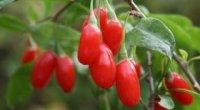 Ягода годжі: догляд та вирощування