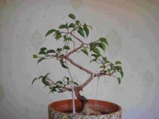 Штамбовое дерево своими руками